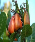 Kỹ thuật bón phân hợp lý cho cây điều ghép ở vùng Đông Nam Bộ