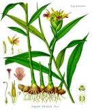 Kỹ thuật trồng gừng trên ruộng