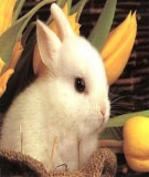 Đề tài: Ảnh hưởng của các mức bổ sung thức ăn tinh trên nền khẩu phần thức ăn cơ sở (cỏ Ghinê, dây khoai lang) đến khả năng sản xuất thịt của giống Thỏ Newzealand trắng