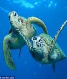 Vì sao rùa biển có thể trở về đúng nơi nó đã sinh ra cách đây 20 năm?