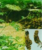 Tổng quan cây đương quy Nhật Bản (Đương quy di thực)