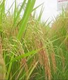 Đánh giá đặc điểm nông học và chất lượng một số tổ hợp lúa lai hai dòng mới chọn tạo trong nước