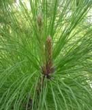 Đề tài: Nghiên cứu ảnh hưởng của các yếu tố khí hậu đến sinh trưởng của thông ba lá (Pinus keysia) ở Lạc Dương tỉnh Lâm Đồng