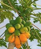 Kỹ thuật trồng cây đu đủ: Kỹ thuật trồng đu đủ - Sở Khoa học Công nghệ Cao Bằng