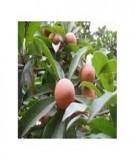 Kỹ thuật trồng hồng xiêm ghép - Sở Khoa học Công nghệ Cao Bằng