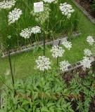 Kỹ thuật trồng cây đương quy (Angelica)
