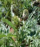 Kỹ thuật trồng và bón phân cho cây atisô