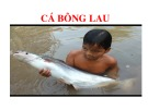 Bài giảng kỹ thuật nuôi Cá bông lau trong ao đất