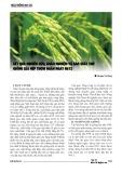 Kết quả nghiên cứu, khảo nghiệm và sản xuất thử giống lúa nếp thơm ngắn ngày N612