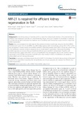MiR-21 is required for efficient kidney regeneration in fish